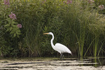 Great Egret in mid-July.