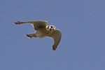Male American Kestrel in flight in mid-April.