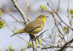 Palm Warbler in mid-April on spring migration.