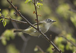 Blue-headed Vireo in mid-April on spring migration.