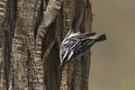 Male Black-and-white Warbler foraging on the bark of a Black Locust (Robinia pseudoacacia) in mid-April on spring migration.