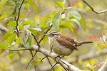 Male Carolina Wren in mid-April.
