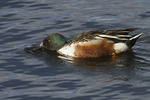 Male Northern Shoveler feeding in mid-April.