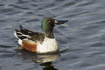Male Northern Shoveler courtship display in mid-April.