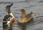 Northern Shoveler pair courtship display in mid-April.