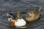 Northern Shoveler pair: male displaying to female in mid-April.