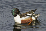 Northern Shoveler male preening in mid-April.