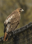 Adult Female Red-tailed Hawk perched on a fence in late April.