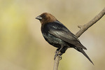 Male Brown-headed Cowbird in late April.