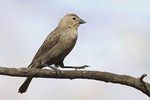 Female Brown-headed Cowbird in late April.