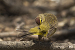 First spring Palm Warbler preening in late April on Spring Migration.