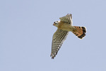 Adult male American Kestrel hovering overhead in late April.