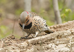 Male Northern Flicker searching for insect larvae in late April.