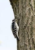 Male Hairy Woodpecker in late April.
