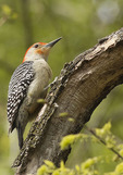 Male Red-bellied Woodpecker in late April.