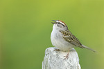 Chipping Sparrow singing on territory in early May.