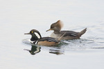 Hooded Merganser, male at left in early December.