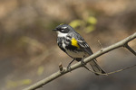 Adult male Yellow-rumped Warbler in late April on spring migration.