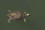 Red-eared Slider (Trachemys scripta elegans) swimming in late April.