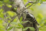 Male Downy Woodpecker in early May.
