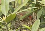 Female Northern Cardinal feeding nestlings in early May.