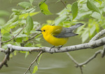 Adult male Prothonotary Warbler foraging in Hackberry (Celtis occidentalis)  in mid-May on spring migration.
