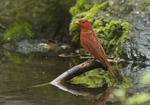 Adult male Summer Tanager in mid-May on spring migration.