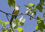 Great Crested Flycatcher in London Plane in mid-May.