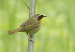 Male Common Yellowthroat in mid-May on spring migration.