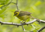 Female Hooded Warbler in mid-May on spring migration.