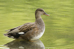 Adult male Gadwall molting into eclipse plumage in mid-May.