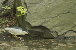 Adult Black-crowned Night-Heron in mid-May.