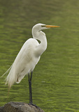 Great Egret in mid-May.