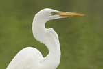 Great Egret close-up n mid-May.