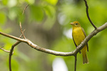 Adult female Summer Tanager in mid-May on spring migration.