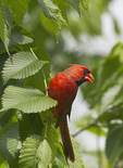Male Northern Cardinal perched in elm in mid-May.