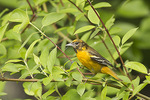 Adult Female Baltimore Oriole collecting fishing line for her nest in mid-May.