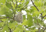 Warbling Vireo nest in London Plane in mid-May.