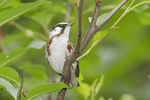 First spring male Chestnut-sided Warbler in late May on spring migration.