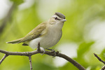 Red-eyed Vireo on spring migration in late May.