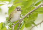 Red-eyed Vireo perched in Black Tupelo (Nyssa sylvatica) on spring migration in late May.