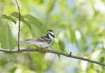 Adult male Blackpoll Warbler in mid-May on spring migration.