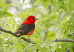 Adult male Scarlet Tanager perched in Hackberry (Celtis occidentalis) in early May on spring migration.