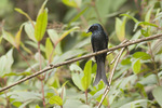 Bronzed Drongo in mid-February.