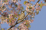 Himalayan Bulbul perched in cherry in mid-November.