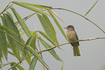 Mountain Bulbul perched in Bamboo in mid-November.