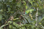 Blue-throated Barbet.