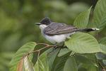 Eastern Kingbird in late May.