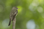 Eastern Wood-Pewee in late May on spring migration. The Gill, Central Park. New York, NY.
