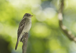 Eastern Wood-Pewee in late May on spring migration.